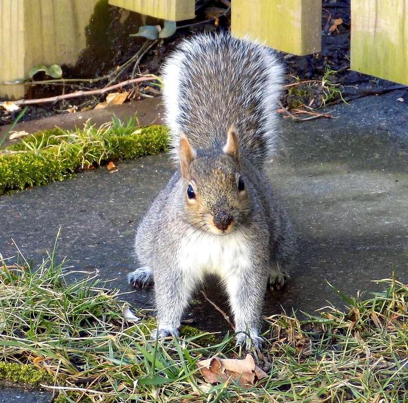 capture-ecureuil-rive-sud controle animaux sauave entre-toit
