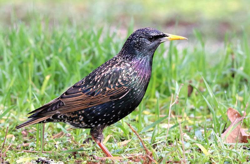 capture oiseaux rive-sud sainte julie oiseau etourneau sansonnet