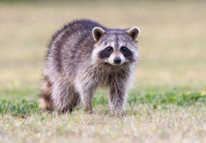 capture-raton-laveur-rive-sud controle animaux sauvage a extermination az extermination