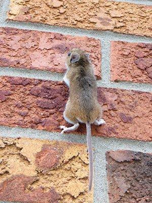 souris-monte-mur-maison-calfeutrage extermination mulot rat